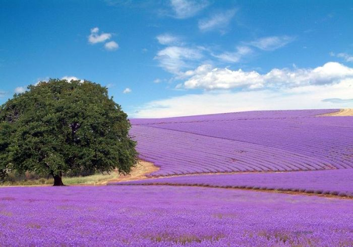 blog-sobre-greenleaf-campos-de-lavanda-provence-frança-flor1